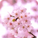 Download 脱出ゲーム 春桜 1.0 APK